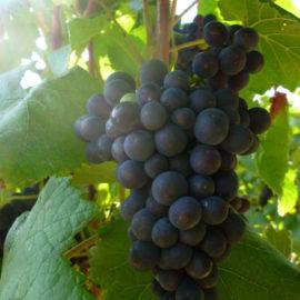 champagne-claude-perrard-raisin-pinot-noir-2019