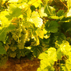chardonnay-uva-champagne-claude-perrard