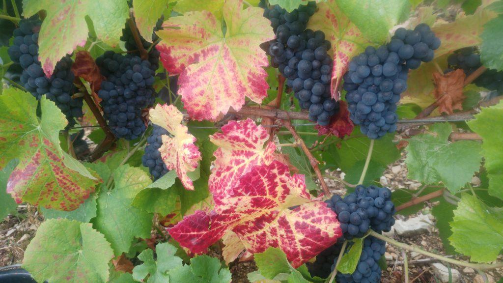 Pinot noir Champagne Claude PERRARD