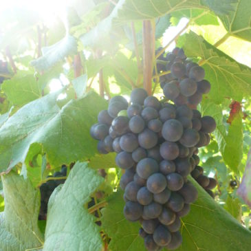 Pinot Noir Tag